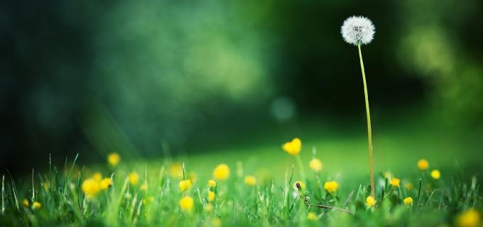 dandelion-wild